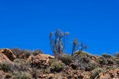 Planos nativos no parque nacional de Teide, flora no vulcão Tenerife, Ilhas Canárias, Espanha - imagem imagens de stock