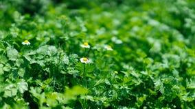 Planos verdes com flores minúsculas imagem de stock royalty free