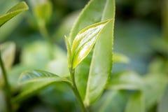 Plans rapprochés des feuilles de thé fraîches Photo libre de droits