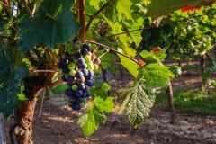 Plans rapprochés des raisins dans un vignoble Images stock
