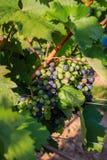 Plans rapprochés des raisins dans un vignoble Photos libres de droits