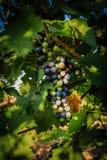 Plans rapprochés des raisins dans un vignoble Photos stock