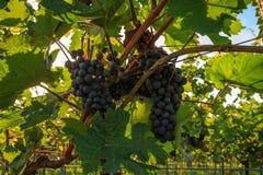 Plans rapprochés des raisins dans un vignoble Photo stock