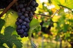 Plans rapprochés des raisins dans un vignoble Photographie stock libre de droits