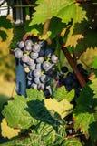 Plans rapprochés des raisins dans un vignoble Image stock