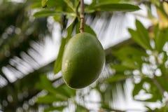 Plantón de frutal verde fresco del mango afuera en verano Foto de archivo libre de regalías