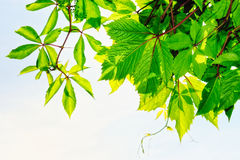 In Plant. Fresh green leaves on the branches of shrubs Stock Images