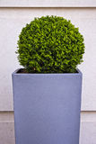 Plant. Trimmed bush plant in a tall square pot Stock Photo