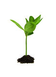 Plant. Green plant isolated on white Stock Image