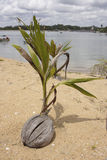 Plant. A young coconut tree growing out from its fruit Stock Photos