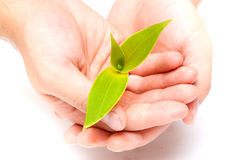 Plant. And careful hands on white Royalty Free Stock Photos