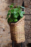 Plant. Green plant in a basket Stock Image