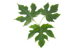 Plant. Lovely three shapes green leaf Royalty Free Stock Photography