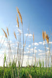 Plant. Agriculture plant and bright blue sky Royalty Free Stock Photos