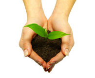 Plant. Holding a plant between hands on white stock photos