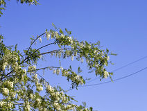 Plant with acacia flower Royalty Free Stock Photos