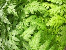 Plant Aegopodium Podagraria Royalty Free Stock Photography