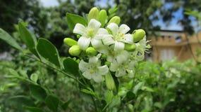 A plant. AFicus benghalensis plant fruiting at a botanical garden in Kenya Stock Photos