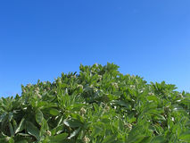 Plant against sky. A leafy plant photo taken against a clear blue sky on a sunny day royalty free stock photo