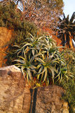 Plant of aloe Royalty Free Stock Images