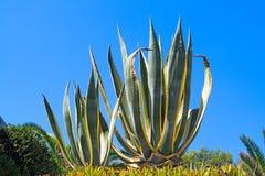 Plant of aloe vera at blue sky Stock Photo