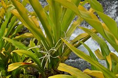 The Golden Crinum Plant. This plant is alson known as Thai Yellow Crinum and native to Melanesia. Crinum lilly is also renowed for its large, six-petaled white stock photos