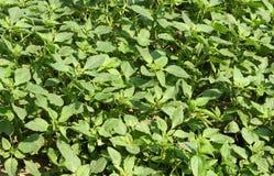 Plant Amaranthus retroflexus Royalty Free Stock Photos