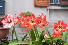 Plant amaryllis hippeastrum Royalty Free Stock Image