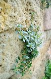 Plant in the ancient stane wall. royalty free stock photography