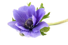 Plant of Anemone Royalty Free Stock Photos