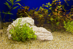 Plant in aquarium Stock Photography