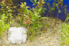 Plant in aquarium Royalty Free Stock Photo