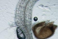 Plant arabidopsis thaliana root Royalty Free Stock Images