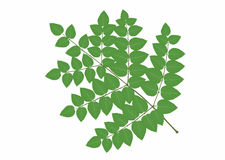 Plant_aralia Immagine Stock Libera da Diritti