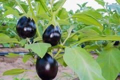 Plant of aubergine - organic cultivation of eggplants in vegetab