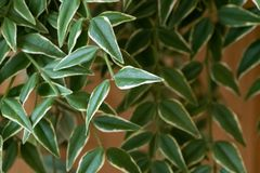 Plant background with branches of Hoya. royalty free stock photos