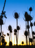 Plant on   background of   dawn sky Stock Photo