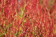Plant background of Rumex acetosella. Plant background of flowering Rumex acetosella (Sheep Sorrel Stock Photo