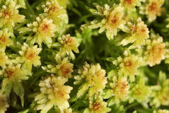 Plant background of Sphagnum moss Royalty Free Stock Images