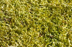 Plant background from sphagnum moss Royalty Free Stock Photo