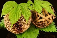 Plant balls. Royalty Free Stock Image
