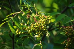 Plant, Barberry Family, Pistacia Lentiscus, Fruit Tree stock image