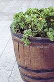 Plant in a barrel. Crassula plants in wooden barrel Stock Images