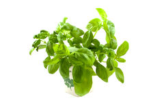Plant of basil Royalty Free Stock Images