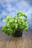 Plant of basil Stock Images