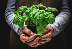 Plant of basil Royalty Free Stock Image