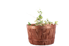 Plant in Basket Royalty Free Stock Photo