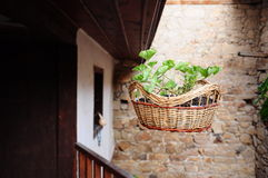 Plant in basket. Green plant in a basket hanged on a house Stock Photography