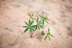 Plant on the beach Royalty Free Stock Photography