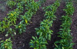 Plant beds of bell peppers in the garden in the village stock photo